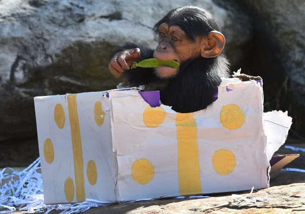 A Taronga Zoo baby chimpanzee plays with its Christmas treats designed to challenge and encourage their natural skills in Sydney on December 4, 2015. AFP PHOTO / William WEST / AFP PHOTO / WILLIAM WEST
