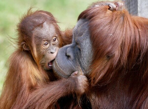 Menyaru (L), a young Samatran Orang-utan celebrates his first birthday with a kiss for his mother Maimunah (R) but was unable to enjoy the traditional birthday due to an upset stomach, at the Melbourne Zoo in Melbourne 29 July 2004