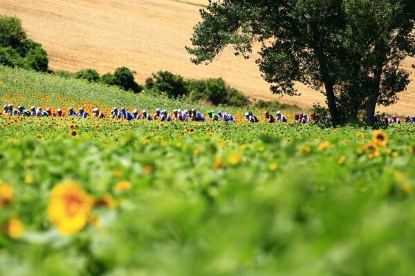 The pack ride past sunflowers during the 184,5 km and 14th stage of the 2010 Tour de France cycling race run between Revel and Ax-Trois-Domaines, southern France in Pyrenees region on July 18, 2010. AFP PHOTO / JOEL SAGET / AFP PHOTO / JOEL SAGET