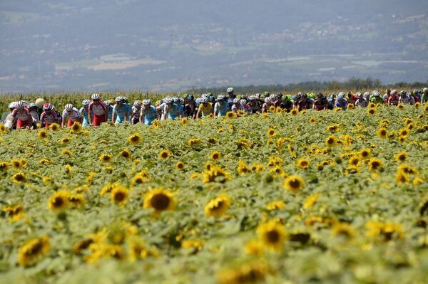 The pack rides past a sunflowers field during the 197
