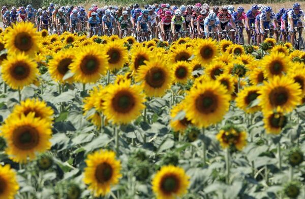 The pack rides past a sunflowers field during the 211.5 km twelfth stage of the 93rd Tour de France cycling race from Luchon to Carcassonne, 14 July 2006. AFP PHOTO / PASCAL GUYOT / AFP PHOTO / PASCAL GUYOT