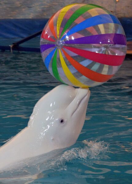 A picture taken on December 30, 2015 shows a Beluga during a performance of the Russia-based Moscow Dolphinarium in Bishkek