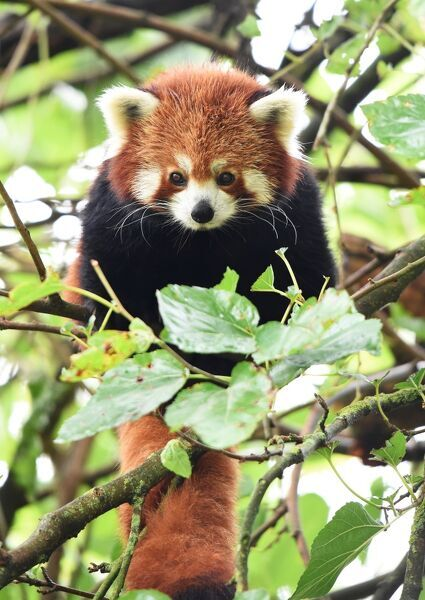 FRANCE-ANIMALS-RED PANDA