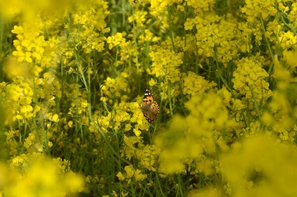 A butterfly rests in a mustard field in full bloom on the outskirts of Srinagar on March 28, 2016