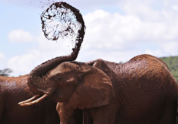 An African elephant throws mud onto himself at the Mpala Research Center and Wildlife Foundation, near Rumuruti, Laikipia District, Kenya. AFP PHOTO / SIMON MAINA