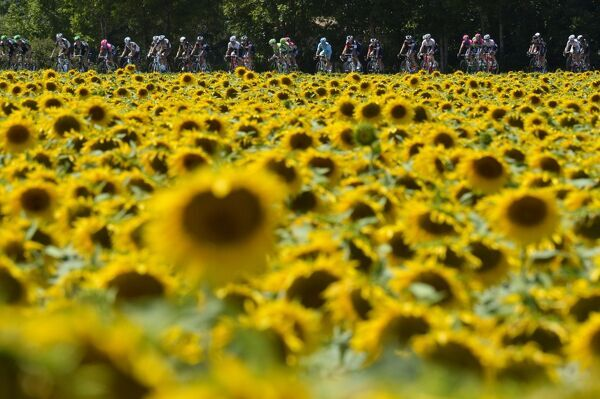 The pack rides past a sunflowers field during the 201 km sixteenth stage of the 102nd edition of the Tour de France cycling race on July 20, 2015, between Bourg-de-Peage and Gap, southern France. AFP PHOTO / JEFF PACHOUD / AFP PHOTO / JEFF PACHOUD