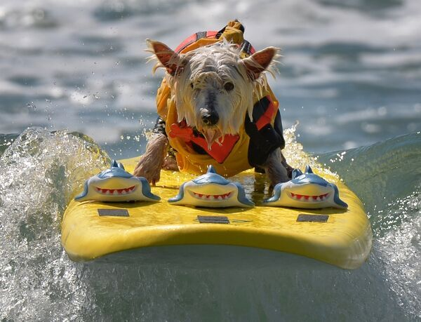 Surfer Dog Joey rides a wave in the small dog division during the 6th Annual Surf Dog competition at Huntington Beach, California on September 28, 2014. AFP PHOTO/Mark RALSTON / AFP PHOTO / MARK RALSTON