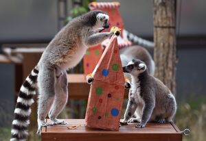 AUSTRALIA-ANIMAL-LEMUR