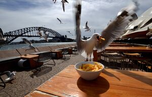 AUSTRALIA-ANIMAL-SEAGULLS