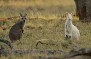 AUSTRALIA-ANIMAL-WALLAROO-KANGAROO-CONSERVATION
