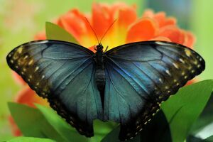 A Blue Morpho (Morpho Peleides) butterfly sits on a flower during a Butterflies exhibition