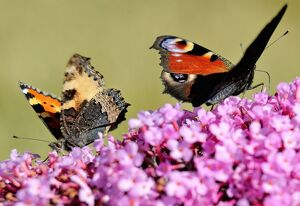 A butterflies searches for food on a buddleia flower, on August 4, 2013 in Godewaersvelde