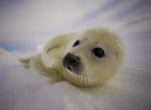 CANADA-ANIMAL-SEAL