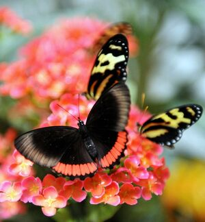 COLOMBIA-ENVIRONMENT-BUTTERFLIES