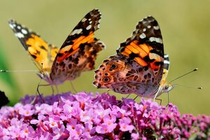 FRANCE-NATURE-BUTTERFLY