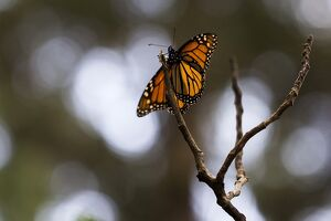 MEXICO-ANIMALS-MONARCH-BUTTERFLIES