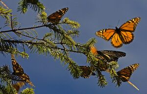 MEXICO-MONARCH BUTTERFLIES