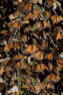 MEXICO-MONARCH-BUTTERFLY