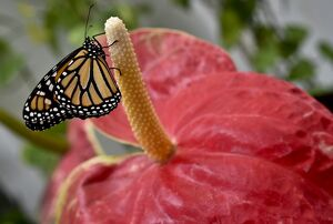 MEXICO-NATURE-BUTTERFLIES