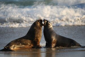 NEW ZEALAND-ANIMAL-FEATURE-SEALS
