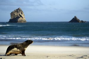 NEW ZEALAND-FEATURE-SEA LION