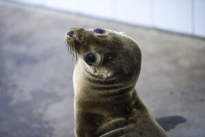 US-FEATURE-ANIMAL-SEA LION AND SEAL RESCUE