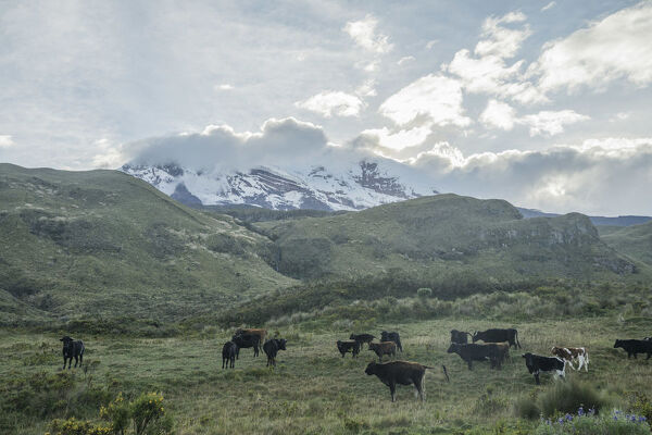 Cattle graze in the moorlands at the foothill of the Chimborazo volcano, Ecuador's central Andes, on February 18, 2019