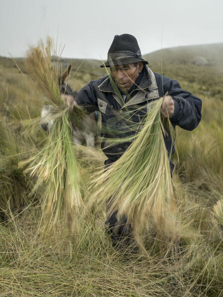 Baltazar Ushca, one of the very few remaining ice merchants of Ecuador, cuts and prepares feather grass, at the foothill of the Chimborazo volcano in Ecuador's central Andes, on February 19, 2019