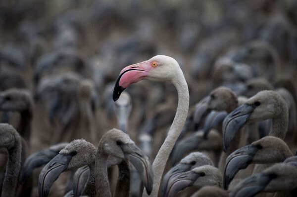 Flamingos move around a pen at Fuente de Piedra lake, 70 kilometres from Malaga, on August 8, 2015 after a tagging and control operation of flamingo chicks to monitor the evolution of the species