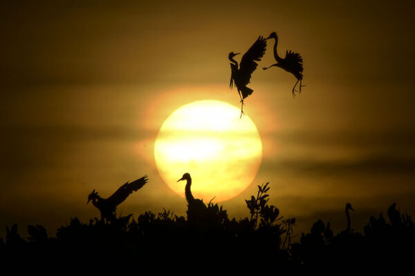 Some Egret birds take a flight as others rest on the top of mangrove trees during sunset at Kajhu beach, in Aceh province on July 1, 2019. (Photo by CHAIDEER MAHYUDDIN / AFP)