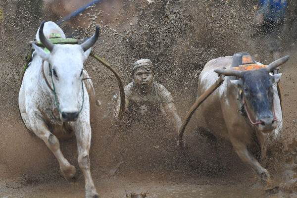 "An Indonesian jockey rides two bulls with a cart during a traditional sport bull race locally called ""pacu jawi"" in Pariangan of Tanah Datar regency in West Sumatra on December 1, 2018. (Photo by ADEK BERRY / AFP)"