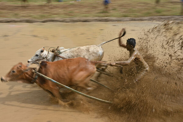 "This picture takenon December 1, 2018 shows an Indonesian jockey riding bulls with a cart during a traditional sport bull race locally called ""pacu jawi"" in Pariangan. (Photo by ADEK BERRY / AFP)"