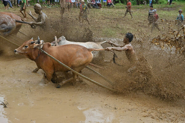 "This picture takenon December 1, 2018 shows two Indonesian jockeys riding bulls with carts during a traditional sport bull race locally called ""pacu jawi"" in Pariangan. (Photo by ADEK BERRY / AFP)"