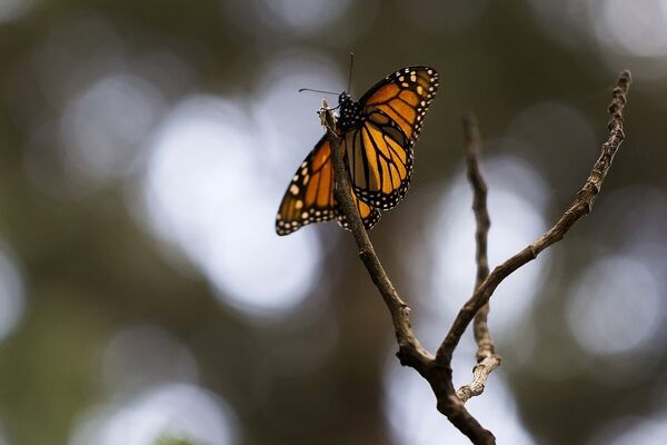 A Monarch butterfly (Danaus plexippus) is pictured at the oyamel firs (Abies religiosa) forest, in Ocampo municipality, Michoacan State in Mexico on December 19, 2016