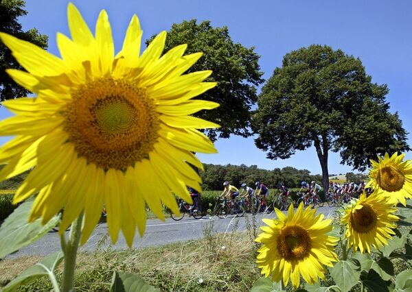 cyclists ride near a field of sunflowers during the 90th Tour de France cycling race between Toulouse and Ax-3 Domaines, 19 July 2003. AFP PHOTO PAOLO COCCO / AFP PHOTO / PAOLO COCCO