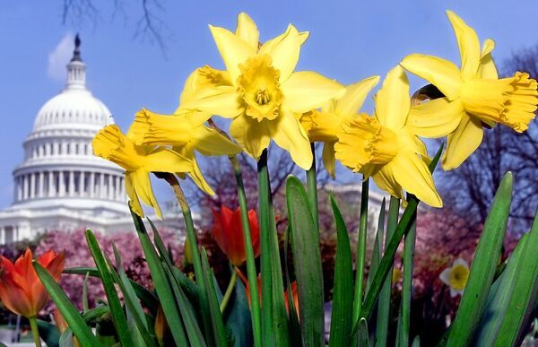 Us Capitol Spring Break Flowers Daffodils Grace The Lawn As Spring