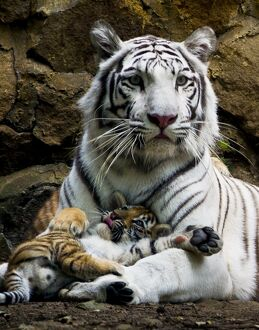 COLOMBIA-ANIMALS-TIGERS-CUBS