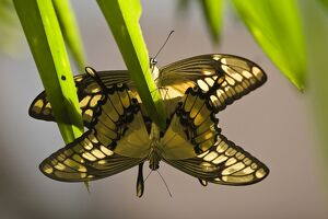animals/butterflies/colombia butterfly star