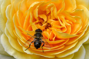 offbeat quirky images/offbeat 2019/france bee flower nature yellow rose