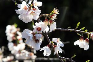 FRANCE - NATURE - MOUNTAINS - ALMOND TREE FLOWERS